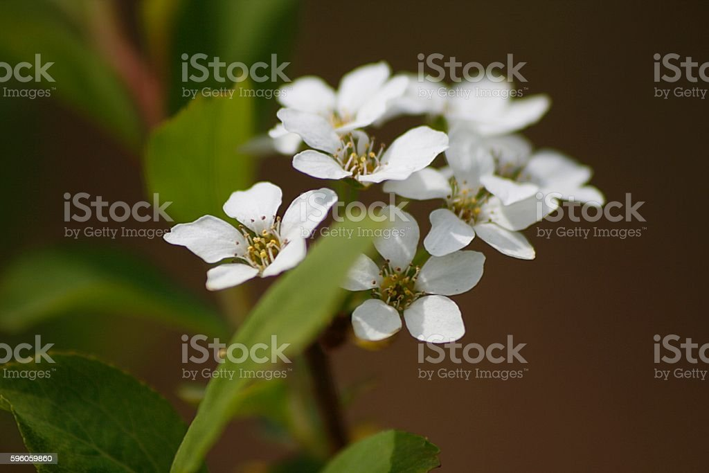 bridal wreath stock photo