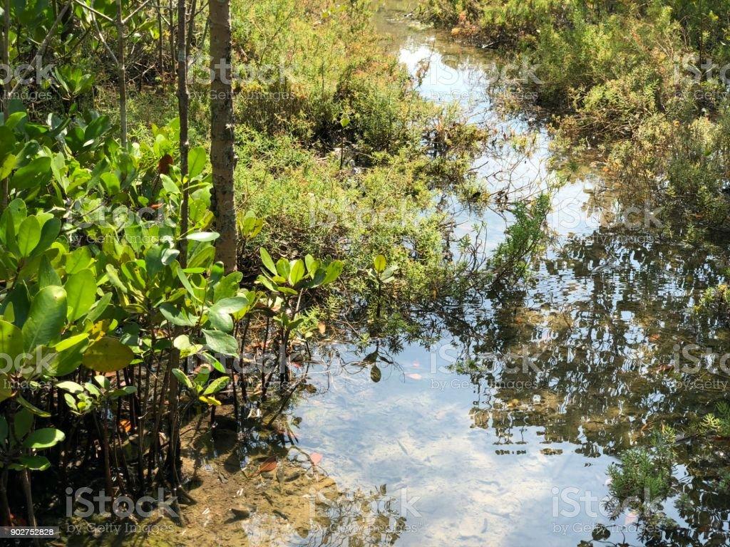 bridge in mangrove forest stock photo