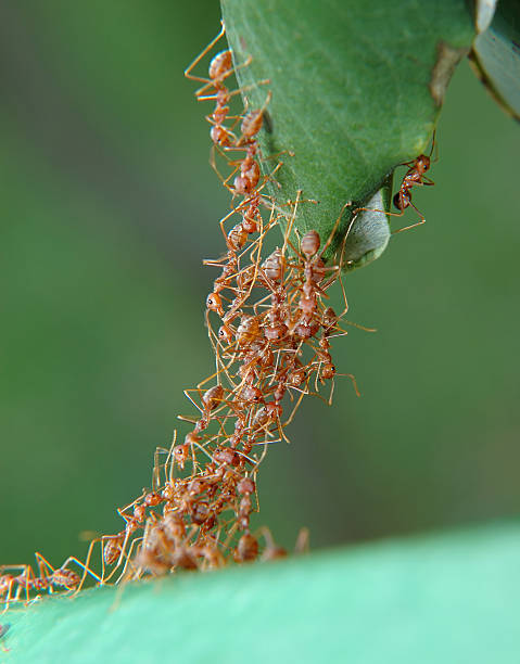 bridge - ants working together stock photos and pictures