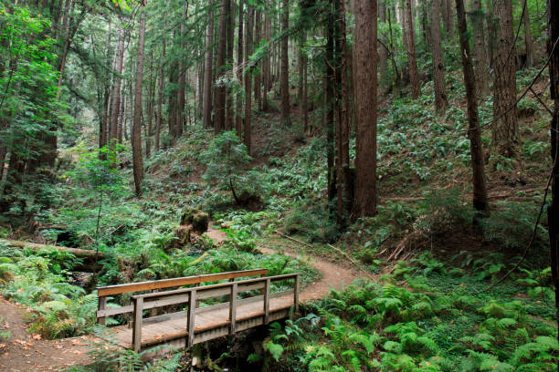 Bridge to Redwood Forest stock photo