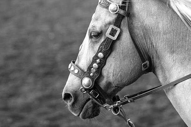 bridle on palomino parade horse - horse bit stock photos and pictures