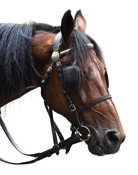 bridled pferd porträt - scheuklappe stock-fotos und bilder