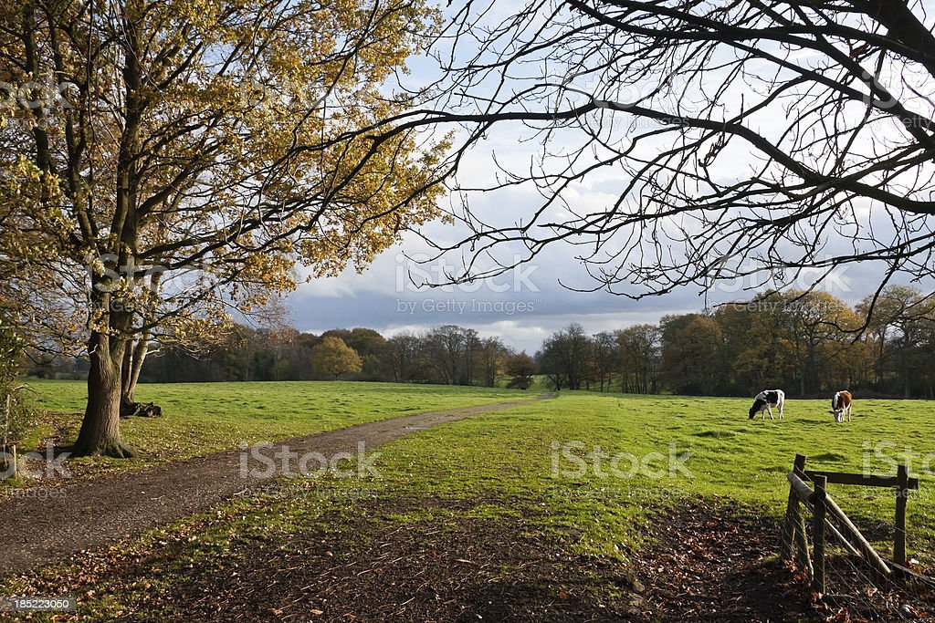 Bridleway and Cattle in the Countryside stock photo