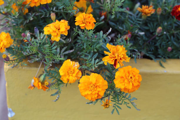 Bright and Beautiful Marigold Flowers in a Closeup stock photo