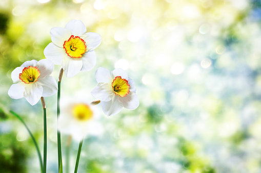 Bright and colorful flowers of daffodils