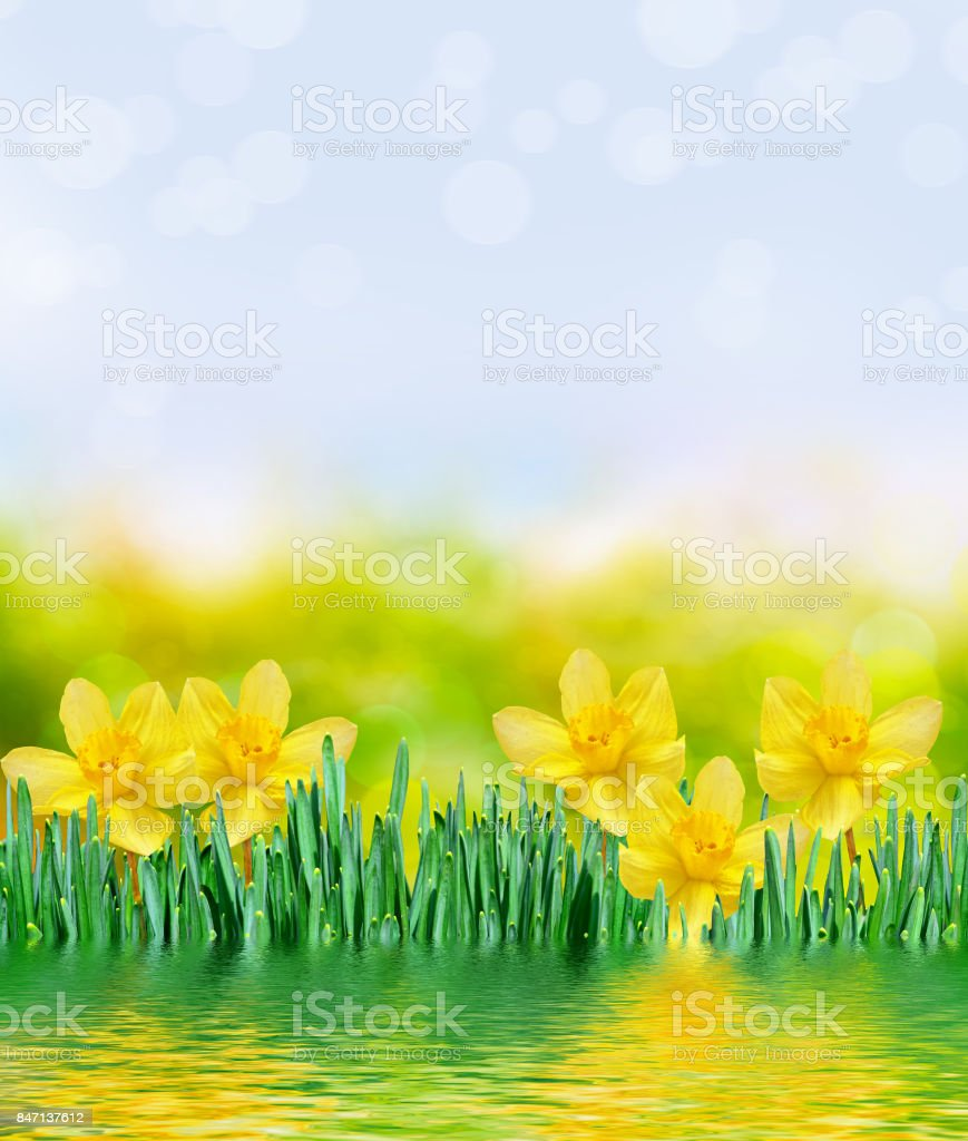 Bright And Colorful Spring Flowers Daffodils Stock Photo More