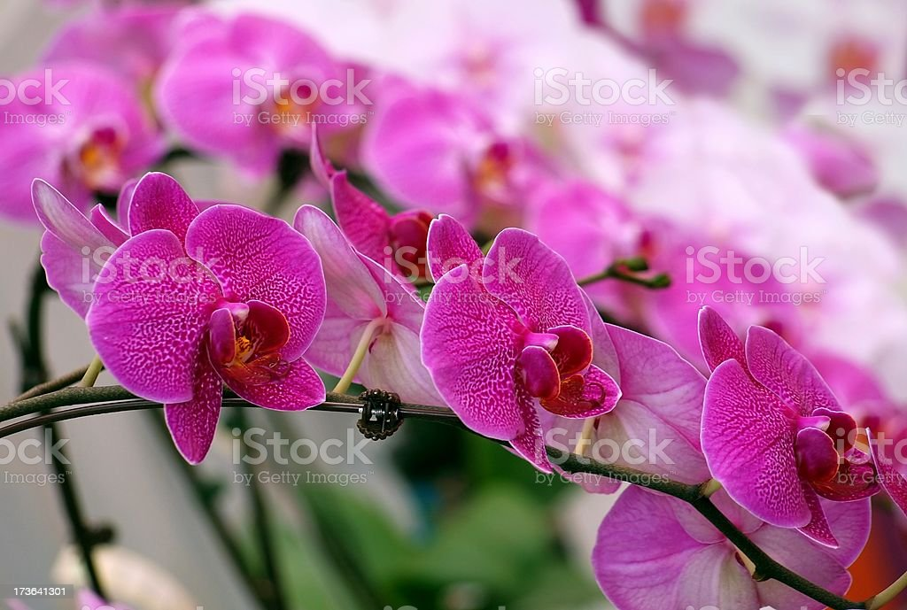 Bright and Purple Butterfly Orchids royalty-free stock photo