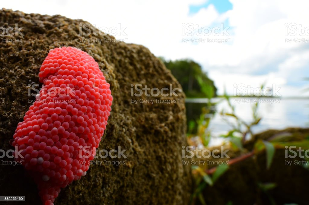 Bright apple snail pink eggs on river bank stock photo