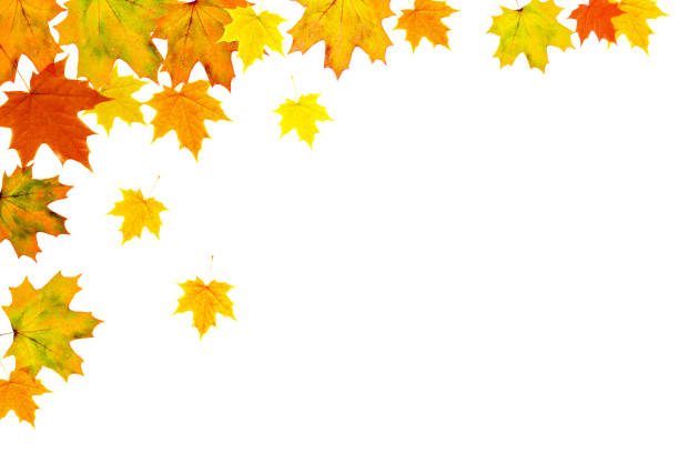 Bright autumn leaves on a white background Autumn maple leaf background. Bright yellow orange green red leaves isolated on a white horizontal background. Colorful foliage. Space for text. fall leaves stock pictures, royalty-free photos & images