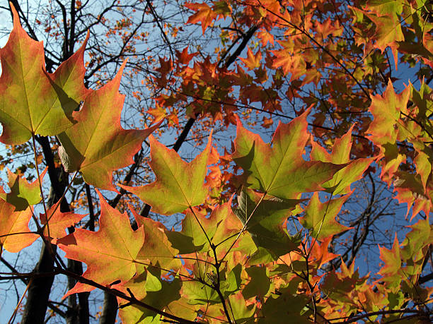 Bright Autumn Sugar Maple Leaves in Pennsylvania, Back-lit Wide View stock photo