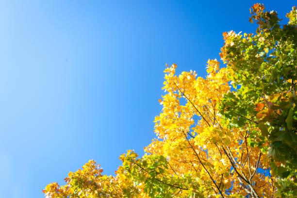 Feuilles de l'automne journée ensoleillée jaune contre le ciel bleu - Photo