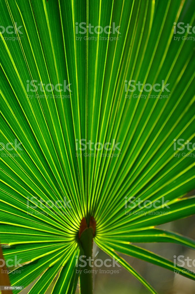 Bright backlit Saw Palmetto frond with radiating light bands stock photo