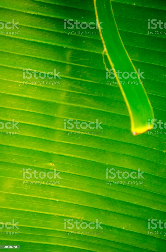 Bright Banana Leaf Background royalty-free stock photo