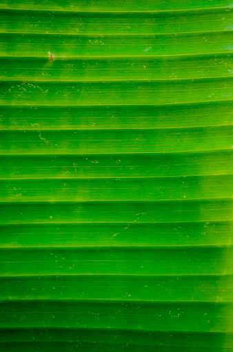 밝은 바나나 리프 배경 0명에 대한 스톡 사진 및 기타 이미지