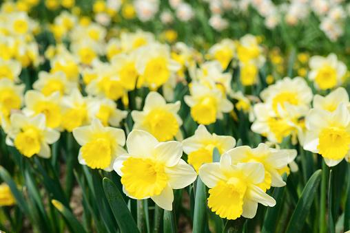Bright beautiful daffodils in the garden