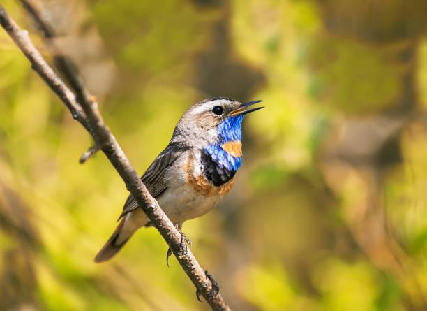 lumineux mâle superbe gorgebleue à miroir oiseau assis sur une branche et chante une chanson en mai le jardin par une journée ensoleillée - Photo