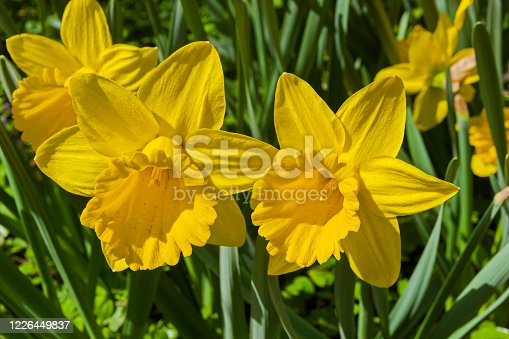 Narcissus of the Marieke species on a flowerbed.