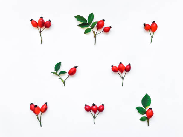 Bright berries of dog rose in a pattern on white background. Flat lay, top view Bright red berries and branches of dog rose in a pattern on white background. Briar floral ornament. Flat lay, top view dog rose stock pictures, royalty-free photos & images