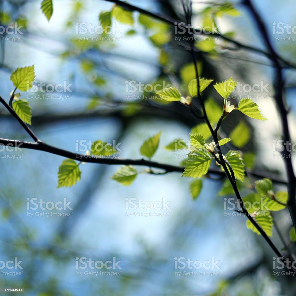 Bright Birch Tree royalty-free stock photo