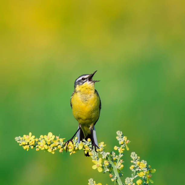 bright bird is the yellow Wagtail sings on a summer solar meadow sitting on a flower stock photo