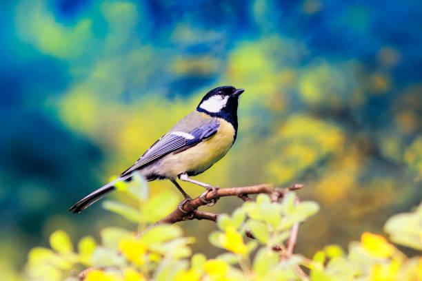 Bright bird tit sitting on a flowering acacia bush in spring park picture id961007580?b=1&k=6&m=961007580&s=612x612&w=0&h=7cpnao ec 41mrq3pwnm10mdkc8m9sieag5rj3 dzoy=