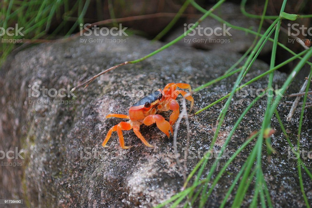 Bright Blood Orange Touloulou Caribbean Crab royalty-free stock photo