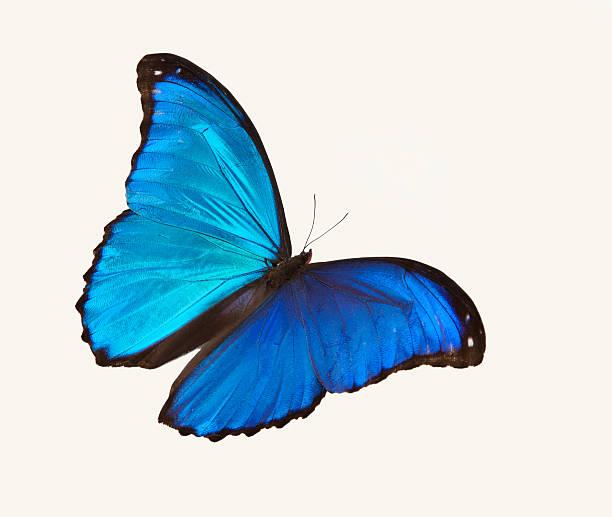 Bright blue butterfly flying against a white backdrop picture id175492317?b=1&k=6&m=175492317&s=612x612&w=0&h=ke2ijfhjywc4jkq94bom5cnabj7d02ha6uzmzikxky8=