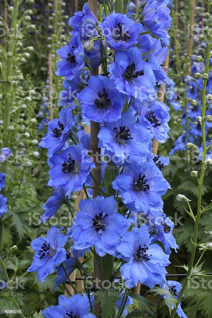 Bright blue delphinium spike stock photo