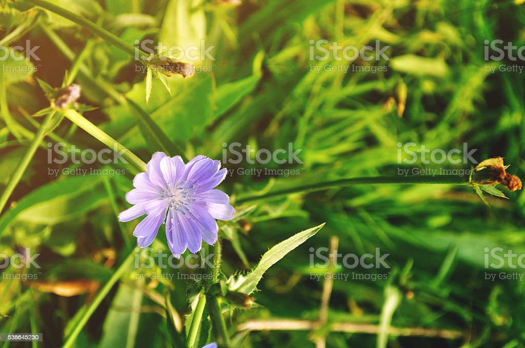 Bright blue flower of chicory - in Latin Cichorium intybus stock photo