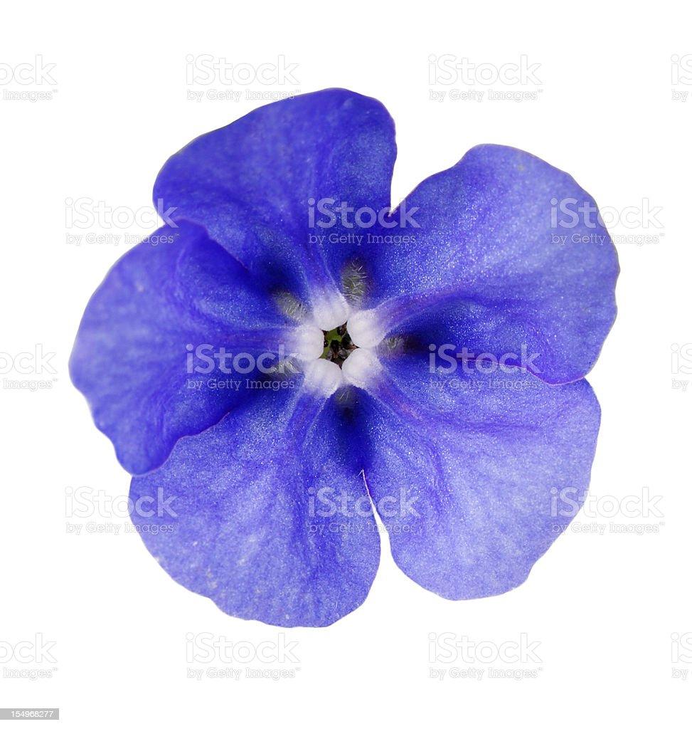 Blu brillante fiore di verde Pianta isolata Alkanet - foto stock
