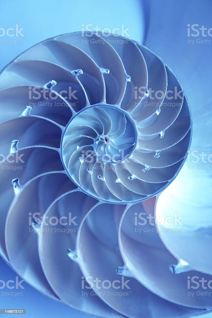 A bright blue nautilus shell on a blue background stock photo