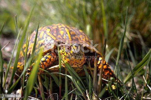 A brightly colored box turtle