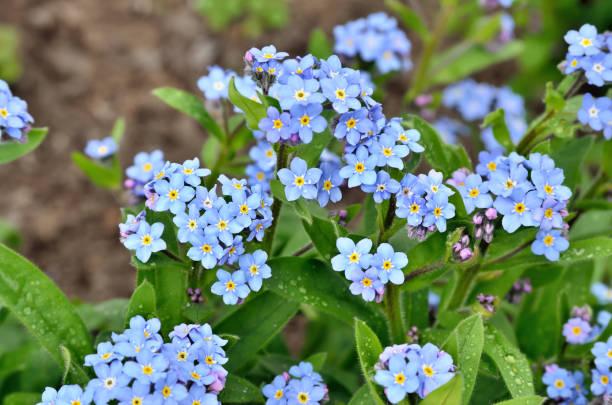 bunches de flores azuis brilhantes jovens esquecer-me - miosótis - fotografias e filmes do acervo