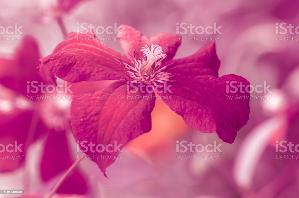 Bright burgundy flower. Artistic image with a soft and selective focus. stock photo