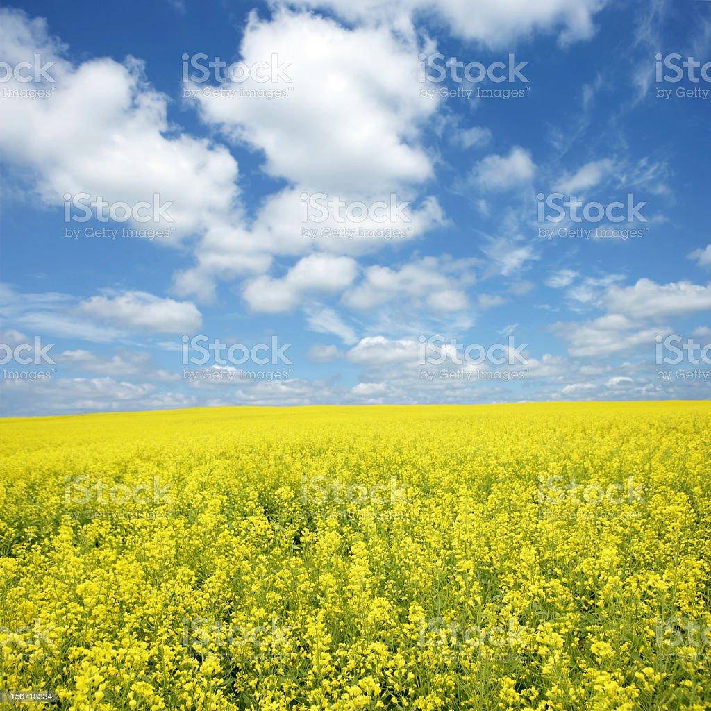 XXXL bright canola field stock photo