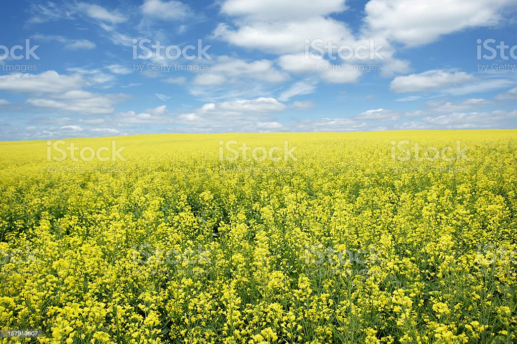 XXXL bright canola field stock photo