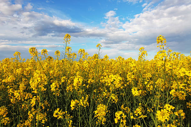 bright canola field bright canola field canola stock pictures, royalty-free photos & images