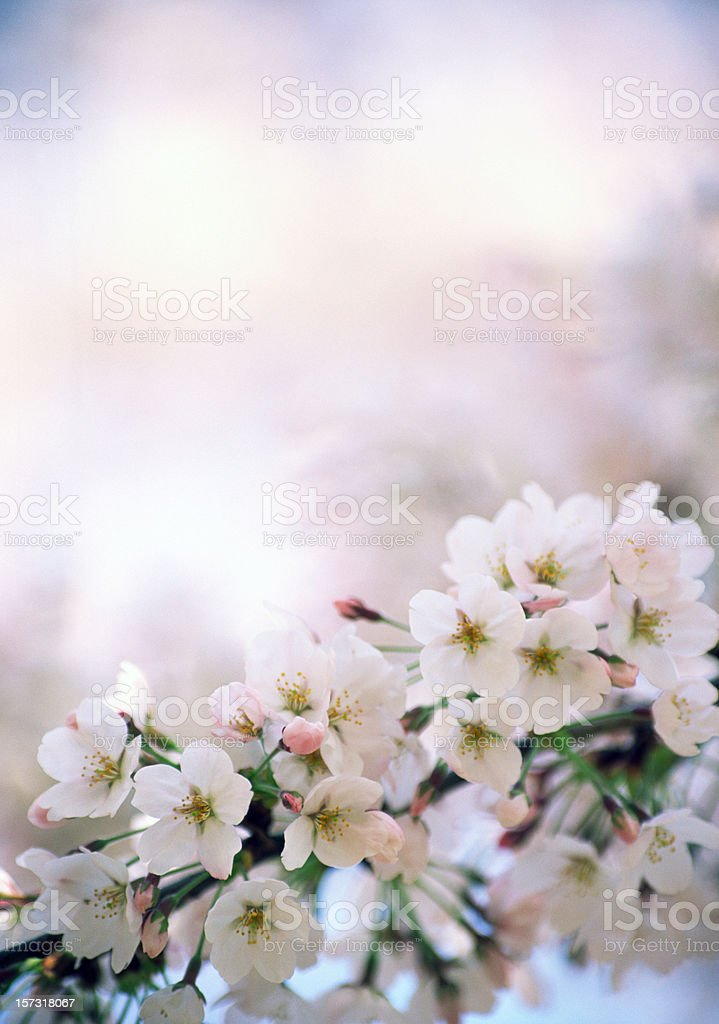 Bright Cherry Blossoms royalty-free stock photo