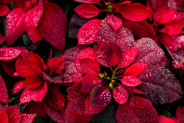 bright christmas background flower poinsety wallpaper - dicembre foto e immagini stock