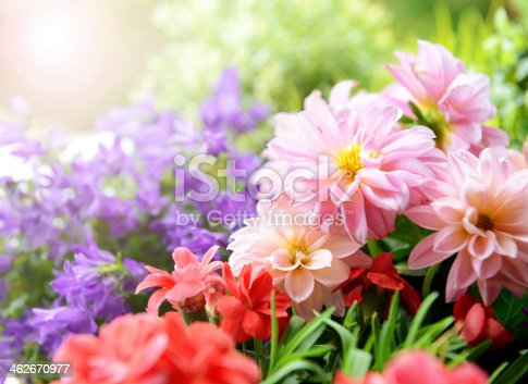 istock Bright close-up of dahlias, carnations and campanula flowers 462670977