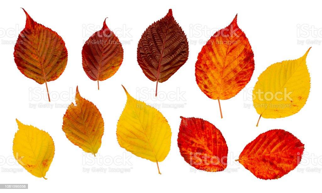 Bright colored autumn leaves. Design kit - foto stock