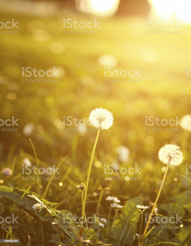 bright colored summer dandelions royalty-free stock photo
