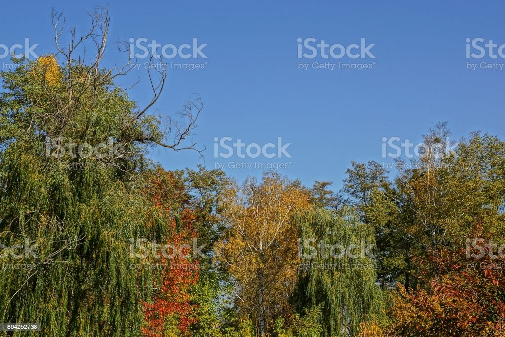 bright colored tops of deciduous trees against the sky royalty-free stock photo