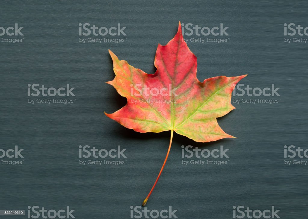 A bright colorful autumn maple leaf lies on a black background. Autumn stock photo