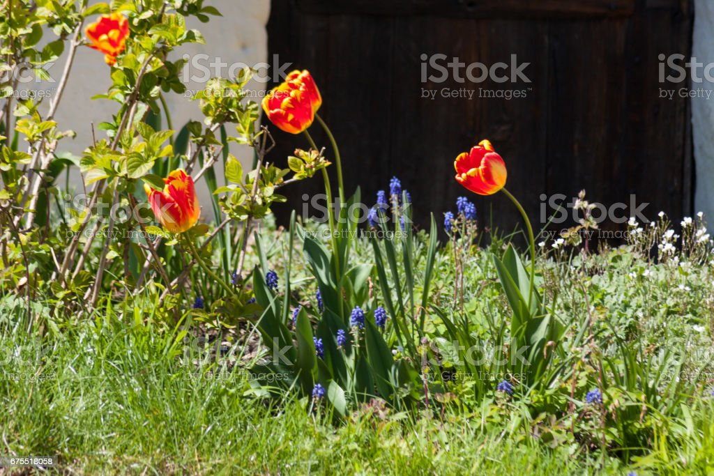 bright colorful flowers in german countryside royalty-free stock photo
