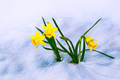 Bright colorful daffodils flowers in the snow. spring garden.