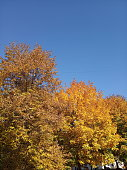 Autumn trees Against Blue Sky. Yellow autumn leafs on blue sky background.