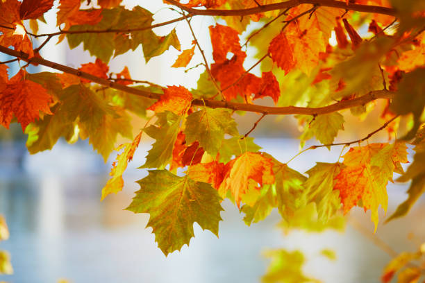 Bright colorful red and yellow autumn leaves on a sunny fall day stock photo