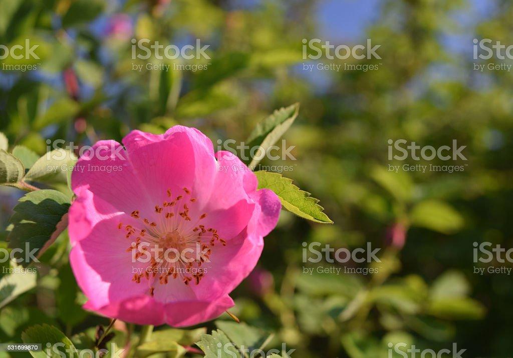 rosa selvagem onde comprar