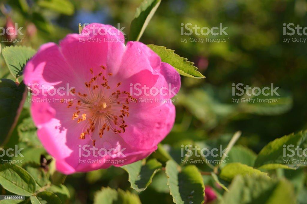 rosa selvagem produto
